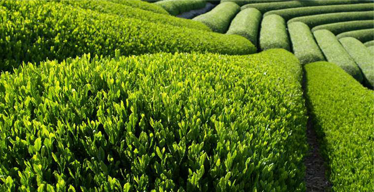 tea-fields-02